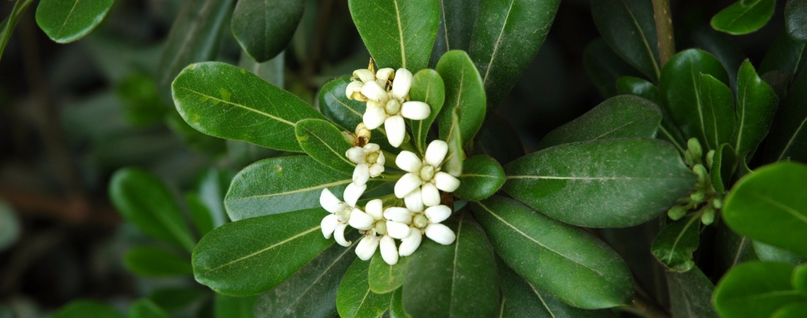 Pittosporum tobira (Moisès Guardiola)_01